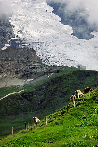 image 2-102-14 Switzerland, Alps, Cattle grazing under the Monch glacier