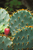 prickly pear stock photography | Texas, Goliad, Mission Espiritu Santo de Zuniga, image id 1-720-91