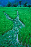 green stock photography | Thailand, Chiang Mai, Rice fields, image id 0-363-40