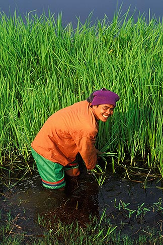 image 0-381-48 Thailand, Sukhothai, Rice farmer