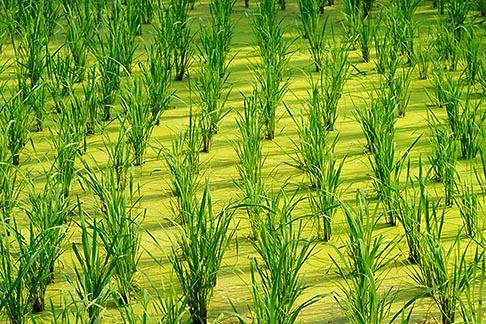 image 0-381-58 Thailand, Sukhothai, Rice fields