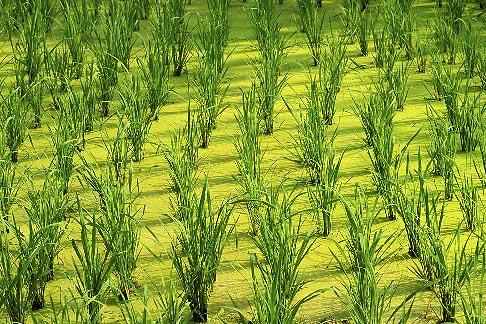 image 0-381-59 Thailand, Sukhothai, Rice fields