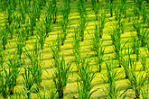 green stock photography | Thailand, Sukhothai, Rice fields, image id 0-381-59