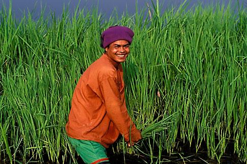 image 0-381-76 Thailand, Sukhothai, Rice farmer