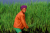 green stock photography | Thailand, Sukhothai, Rice farmer, image id 0-381-76