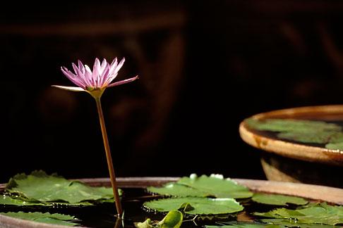 image 7-509-29 Thailand, Bangkok, Lotus flower