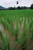 rice stock photography | Thailand, Phuket, Rice paddy, image id 7-528-21