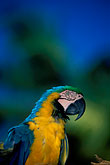 blue parrot stock photography | Tobago, Parrot, Pigeon Point, image id 8-56-10