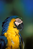 blue parrot stock photography | Tobago, Parrot, Pigeon Point, image id 8-56-14