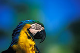 blue parrot stock photography | Tobago, Parrot, Pigeon Point, image id 8-56-17