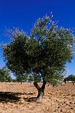 cropland stock photography | Tunisia, Djerba, Olive tree, image id 3-1100-33