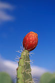 red flower stock photography | Tunisia, Prickly Pear cactus, image id 3-1100-93