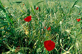 colour stock photography | Turkey, Ephesus, Poppies, image id 9-300-3