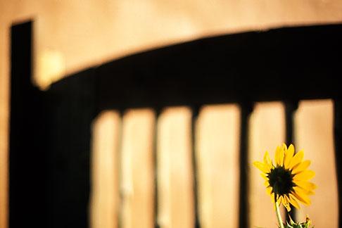 image S4-351-28 New Mexico, Santa Fe, Sunflower