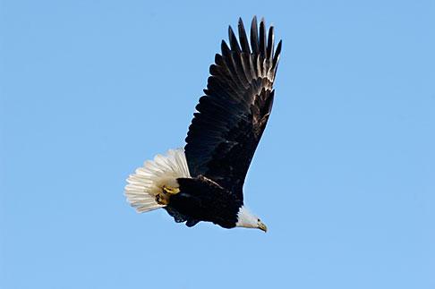 image 5-650-1084 Alaska, Kodiak, Bald eagle in flight