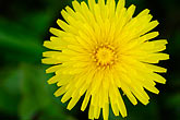 horizontal stock photography | Alaska, Kodiak, Yellow wildflower, image id 5-650-1091