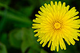 horizontal stock photography | Alaska, Kodiak, Yellow wildflower, image id 5-650-1093