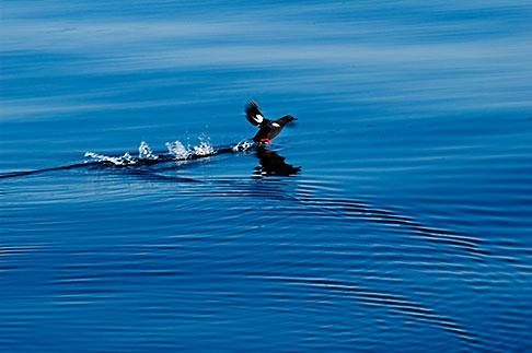 image 5-650-1195 Alaska, Kodiak, Pigeon Guillemot