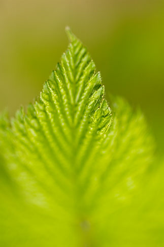 image 5-650-1650 Alaska, Kodiak, Green leaf