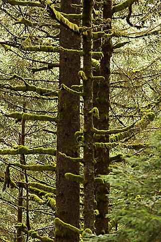 image 5-650-1672 Alaska, Kodiak, Spruce forest