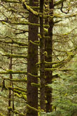 tree trunk stock photography | Alaska, Kodiak, Spruce forest, image id 5-650-1672