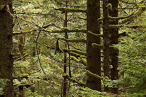 image 5-650-1675 Alaska, Kodiak, Spruce forest