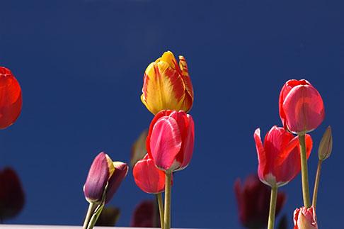 image 5-650-1739 Alaska, Kodiak, Tulips