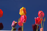 horizontal stock photography | Alaska, Kodiak, Tulips, image id 5-650-1739
