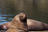 horizontal stock photography | Alaska, Kodiak, Sea Lions, image id 5-650-1742