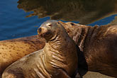 horizontal stock photography | Alaska, Kodiak, Sea Lions, image id 5-650-1747