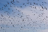 horizontal stock photography | Alaska, Kodiak, Flock of seabirds, image id 5-650-1779