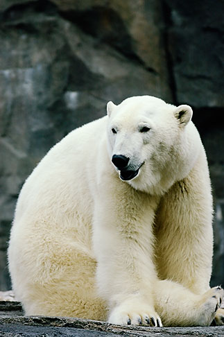 image 5-650-3126 Alaska, Anchorage, Polar Bear, Alaska Zoo