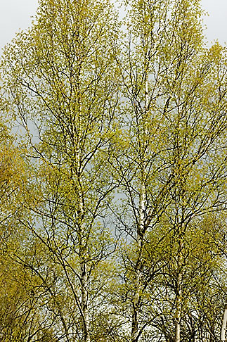 image 5-650-3174 Alaska, Anchorage, Tree with spring leaves