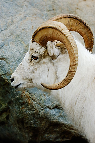 image 5-650-3211 Alaska, Anchorage, Dall sheep, Alaska Zoo