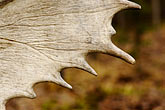 detail stock photography | Alaska, Anchorage, Antler, image id 5-650-3553