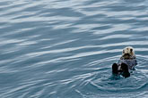 quiet stock photography | Alaska, Prince WIlliam Sound, Sea otter, image id 5-650-386