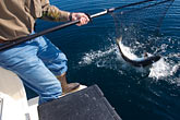 sport stock photography | Alaska, Kodiak, Catching a King Salmon, image id 5-650-4142