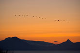 sunrise stock photography | Alaska, Kodiak, Birds in formation over Chiniak Bay, image id 5-650-4367
