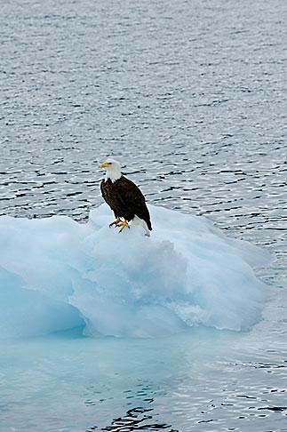 image 5-650-553 Alaska, Prince WIlliam Sound, Bald eagle on ice floe