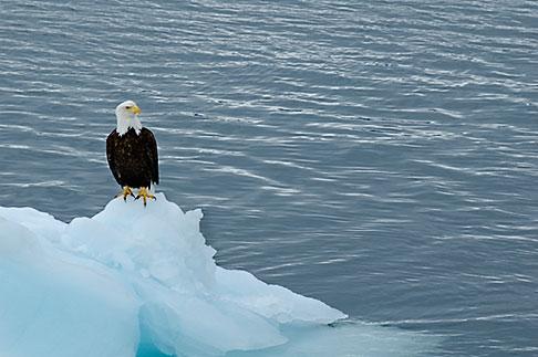 image 5-650-559 Alaska, Prince WIlliam Sound, Bald eagle on ice floe