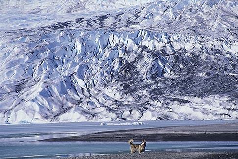 image 7-178-7 Alaska, Juneau, Mendenhall Glacier and husky