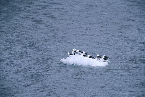 image 7-202-5 Alaska, Glacier Bay National Park, Gulls on ice floe