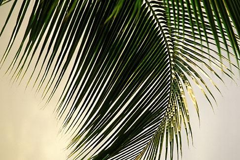 image 4-600-20 Antigua, Palm frond