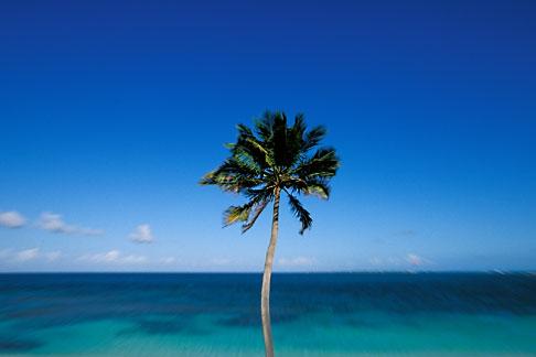 image 4-600-53 Antigua, Jabberwock Beach, Palm