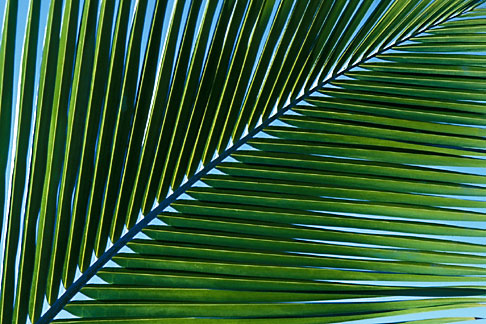 image 4-602-60 Antigua, Palm frond