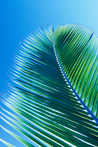image 4-602-61 Antigua, Palm frond