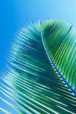 blue background stock photography | Antigua, Palm frond, image id 4-602-61