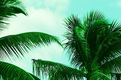 image 4-602-98 Antigua, Palms