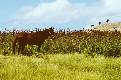 image 4-604-42 Antigua, Horse in field