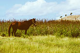 west stock photography | Antigua, Horse in field, image id 4-604-42